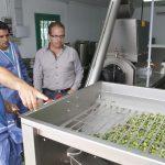 Lanzarote produce su propio aceite de oliva virgen
