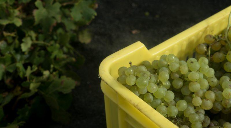 Uva para las bodegas